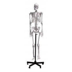 GD0101 Scheletro umano 170 cm