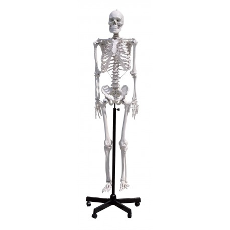 GD0101 Esqueleto humano 170 cm - Optikascience