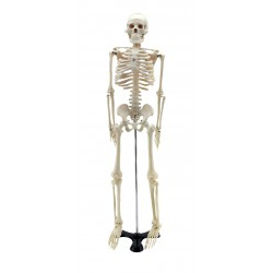 GD0111 Mini scheletro umano 85 cm