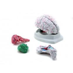 GD0304 Cervello