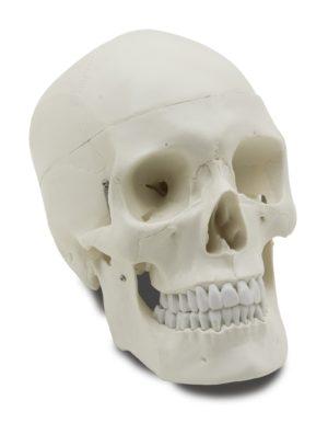 GD0102 Cranio umano